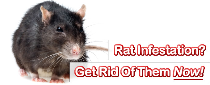 How To Get Rid Of Dead Rat Smell Naturally
